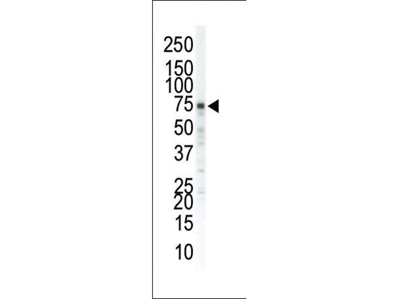 Western Blotting (WB) image for anti-EPH Receptor A5 antibody (EPHA5) (N-Term) (ABIN2160955)