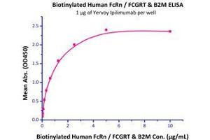 Image no. 2 for Fc Fragment of IgG, Receptor, Transporter, alpha (FCGRT) (AA 24-297) (Active) protein (Strep Tag,AVI tag,Biotin,His tag) (ABIN2870550)