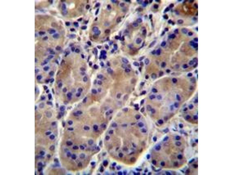 Immunohistochemistry (Paraffin-embedded Sections) (IHC (p)) image for anti-KCNJ13 antibody (Potassium Inwardly-Rectifying Channel, Subfamily J, Member 13) (AA 74-103) (ABIN953008)