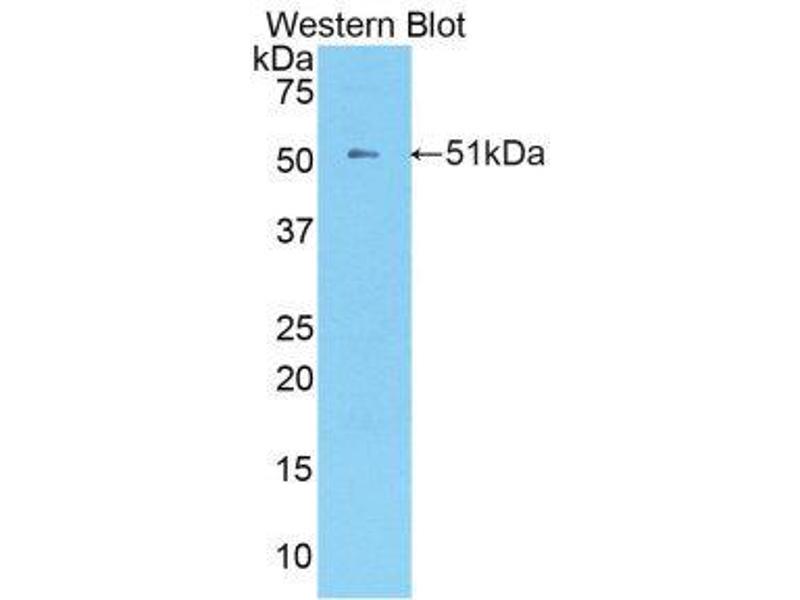 Western Blotting (WB) image for anti-Kallikrein 8 (KLK8) (AA 33-250) antibody (ABIN1859559)