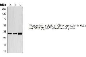 Image no. 2 for anti-Cluster of Differentiation 1e (CD1e) (Center) antibody (ABIN2487038)