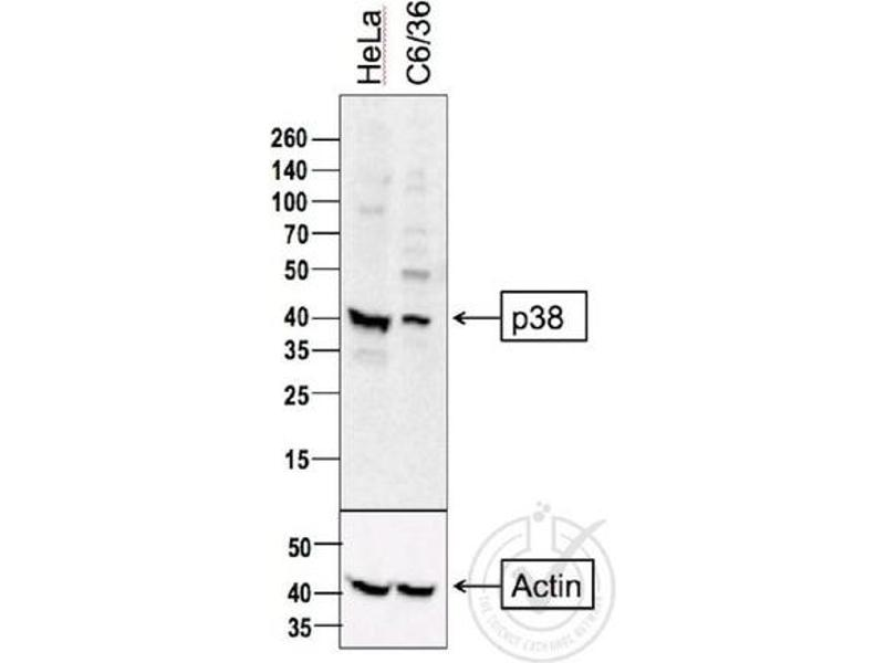 Western Blotting (WB) image for anti-MAP kinase p38 (p38) (AA 160-210) antibody (ABIN671241)