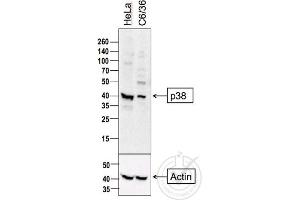 Image no. 1 for anti-Mitogen-Activated Protein Kinase 14 (MAPK14) (AA 160-210) antibody (ABIN671241)