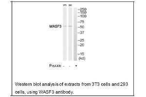 Western Blotting (WB) image for anti-WASF3 antibody (WAS Protein Family, Member 3) (Internal Region) (ABIN2501177)