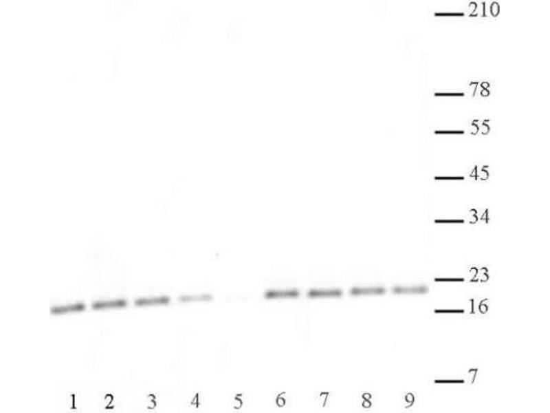 Western Blotting (WB) image for anti-Histone 3 (H3) (2meLys27), (3meLys27) antibody (ABIN4889658)