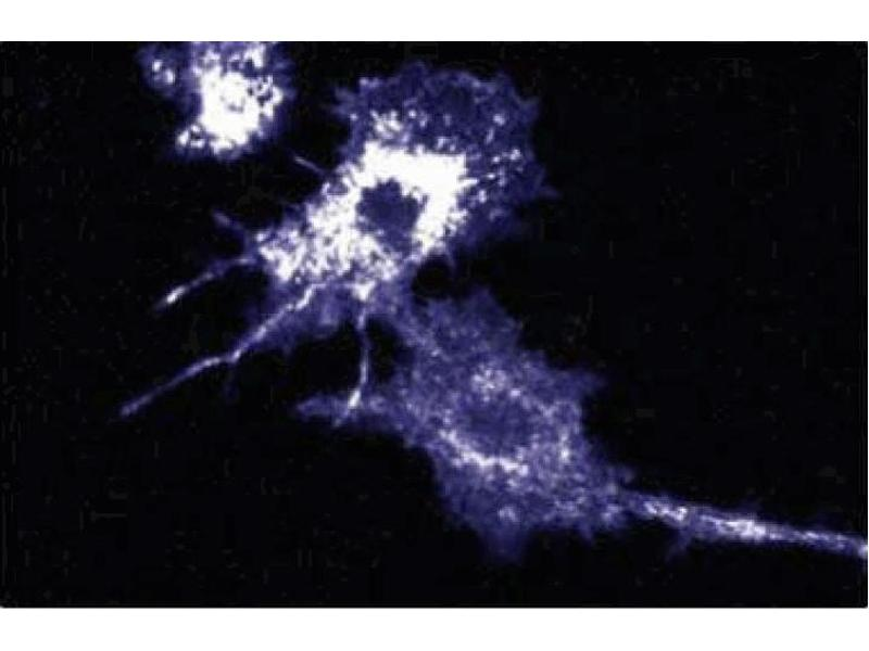Immunofluorescence (IF) image for anti-Myeloid/lymphoid Or Mixed-Lineage Leukemia (Trithorax Homolog, Drosophila), Translocated To, 4 (MLLT4) (AA 1091-1233) antibody (ABIN968143)
