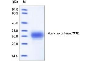 Image no. 1 for Tissue Factor Pathway Inhibitor 2 (TFPI2) (Active) protein (His tag) (ABIN1981568)