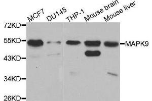 Image no. 2 for anti-Mitogen-Activated Protein Kinase 9 (MAPK9) (C-Term) antibody (ABIN3021849)