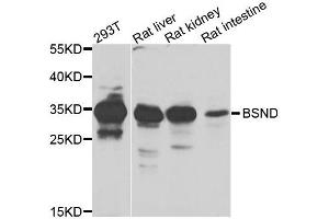 Image no. 2 for anti-Bartter Syndrome, Infantile, with Sensorineural Deafness (Barttin) (BSND) antibody (ABIN2736368)