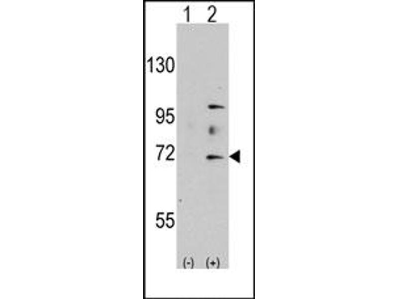 image for anti-MYST Histone Acetyltransferase 2 (MYST2) (N-Term) antibody (ABIN356663)