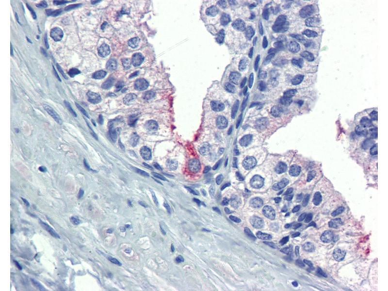 Immunohistochemistry (IHC) image for anti-Anti-Mullerian Hormone (AMH) (AA 468-517) antibody (ABIN490069)