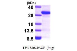Image no. 1 for SCAN Domain Containing 1 (SCAND1) (AA 1-179) protein (His tag) (ABIN667831)
