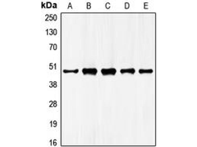 Western Blotting (WB) image for anti-GATA Binding Protein 4 (GATA4) (Center) antibody (ABIN2706215)