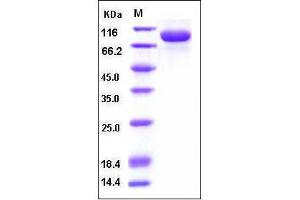 Image no. 1 for Interleukin 1 Receptor Accessory Protein (IL1RAP) (AA 1-359), (Extracellular Domain) protein (Fc Tag,His tag) (ABIN2002117)