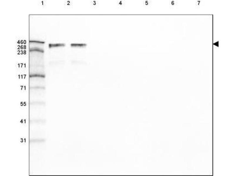 Western Blotting (WB) image for anti-Laminin, alpha 5 (LAMA5) antibody (ABIN4330115)