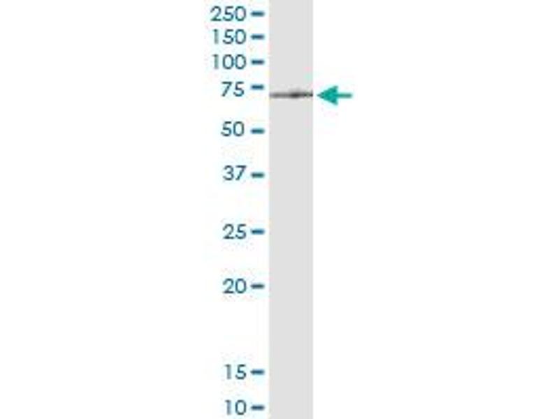 Immunoprecipitation (IP) image for anti-ATPase Family, AAA Domain Containing 3A (ATAD3A) (AA 1-586), (full length) antibody (ABIN950090)