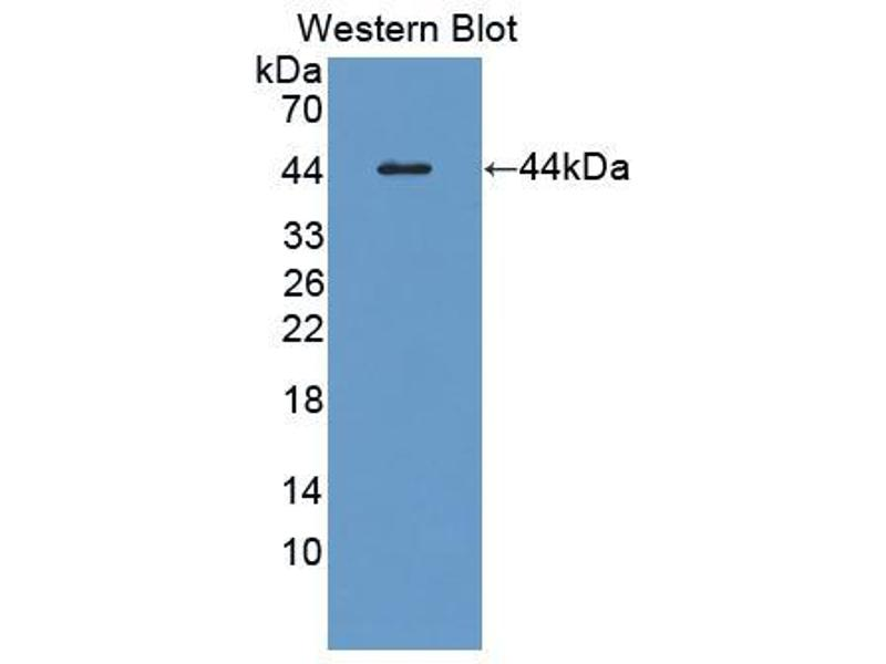 Western Blotting (WB) image for anti-Colony Stimulating Factor 2 (Granulocyte-Macrophage) (CSF2) (AA 19-141) antibody (ABIN6000460)