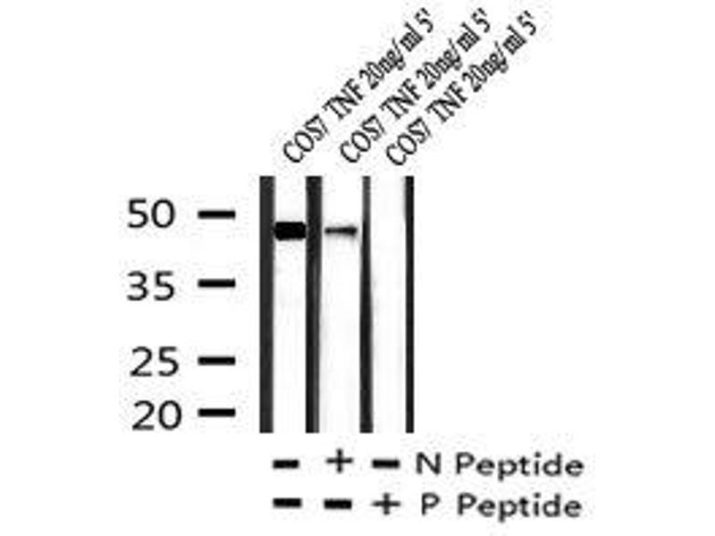 Image no. 3 for anti-GATA Binding Protein 2 (GATA2) (pSer192) antibody (ABIN6269951)