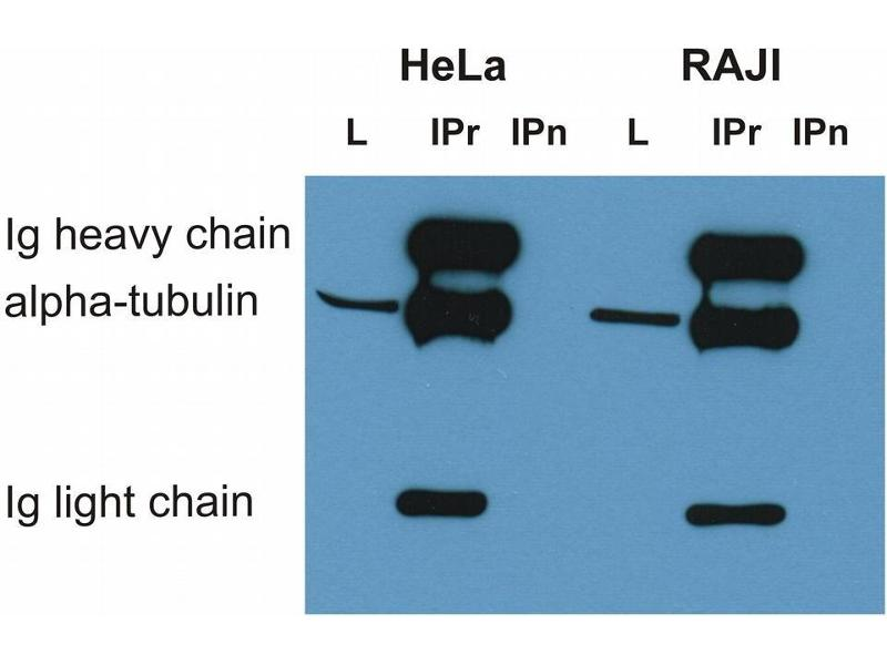 Western Blotting (WB) image for anti-alpha Tubulin (TUBA1) antibody (Biotin) (ABIN301997)