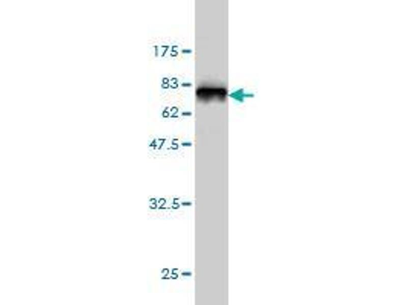 Western Blotting (WB) image for anti-Keratin 18 (KRT18) (AA 1-431) antibody (ABIN395625)