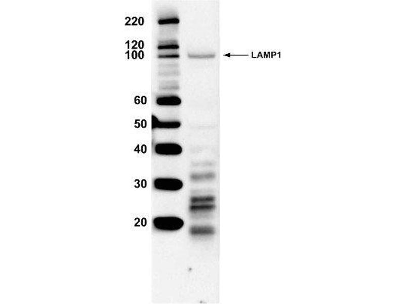 Image no. 1 for anti-Lysosomal-Associated Membrane Protein 1 (LAMP1) antibody (ABIN266767)