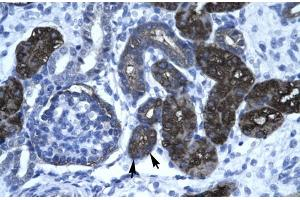Image no. 1 for anti-GC-Rich Promoter Binding Protein 1 (GPBP1) (N-Term) antibody (ABIN1109470)