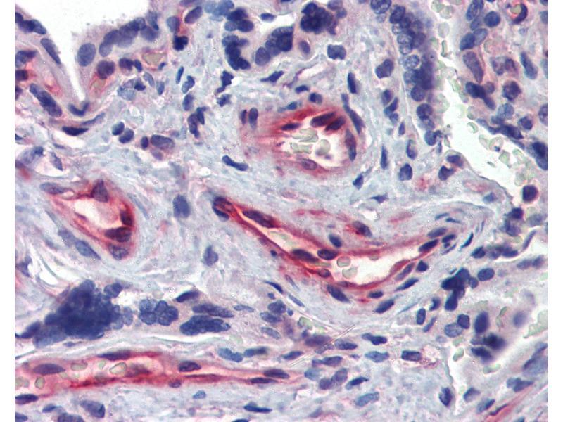 Image no. 3 for anti-Akirin 1 (AKIRIN1) (N-Term) antibody (ABIN462493)