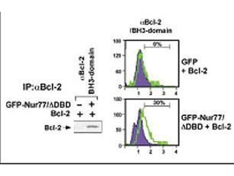 Western Blotting (WB) image for anti-B-Cell CLL/lymphoma 2 (BCL2) (AA 75-110), (BH3 Domain) antibody (ABIN388095)
