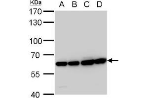Western Blotting (WB) image for anti-ARCN1 Antikörper (Archain 1) (Center) (ABIN4264301)