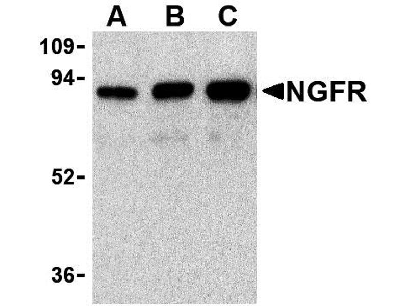 Western Blotting (WB) image for anti-NGFR antibody (Nerve Growth Factor Receptor) (ABIN2448344)