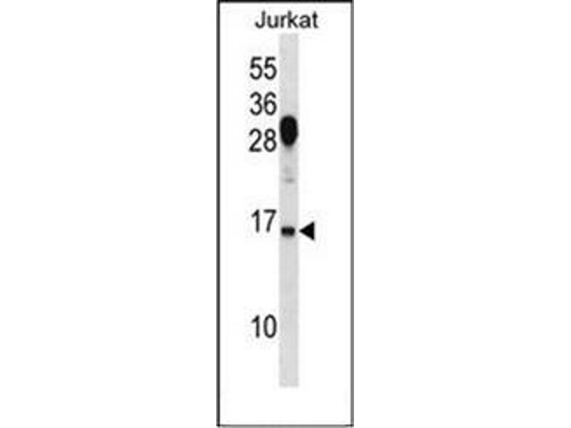 Western Blotting (WB) image for anti-Ras Homolog Family Member G (RHOG) (AA 98-128), (C-Term) antibody (ABIN954543)