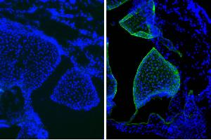 Image no. 1 for Mouse IgG1 isotype control (APC-Cy7) (ABIN375845)