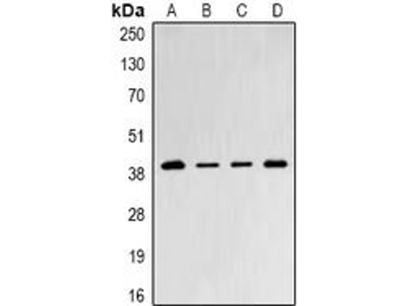 Western Blotting (WB) image for anti-Proteasome (Prosome, Macropain) 26S Subunit, Non-ATPase, 8 (PSMD8) (full length) antibody (ABIN6005502)