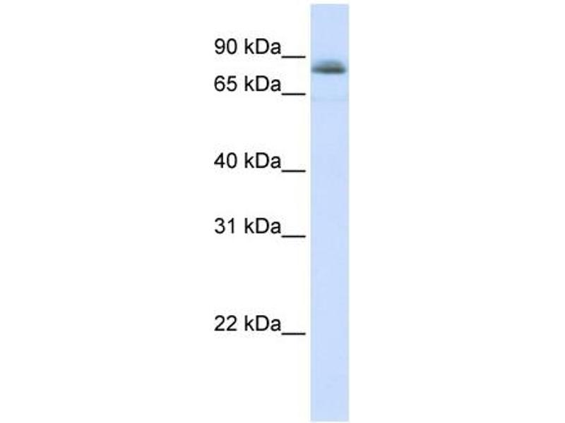 Western Blotting (WB) image for anti-Signal Transducer and Activator of Transcription 5A (STAT5A) (C-Term) antibody (ABIN2780480)