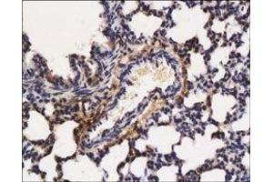 image for anti-FGF7 antibody (Fibroblast Growth Factor 7) (Middle Region) (ABIN1582093)