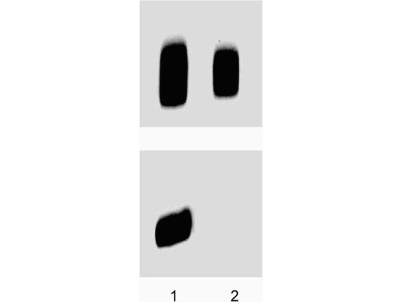Western Blotting (WB) image for anti-PKA-R2 beta (pSer114) antibody (ABIN968875)