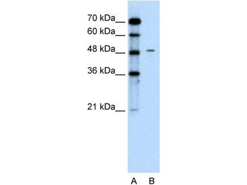 Western Blotting (WB) image for anti-Chromogranin A (CHGA) (C-Term) antibody (ABIN2777071)