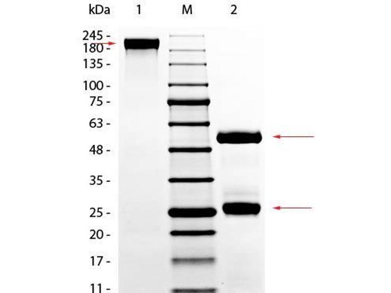 SDS-PAGE (SDS) image for GOAT Gamma Globulin Fraction (ABIN964144)