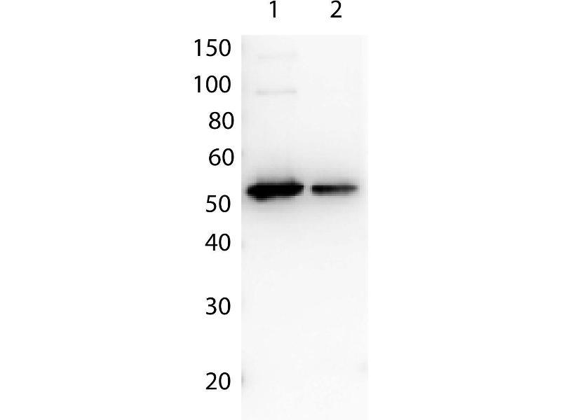 Image no. 2 for Bovine/Calf Plasma (Sterile In Potassium EDTA) (ABIN925405)