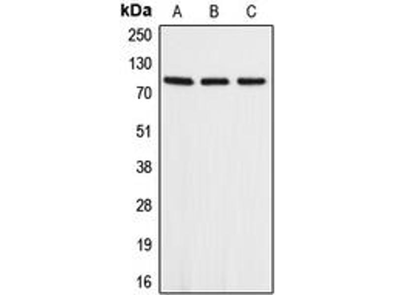 Western Blotting (WB) image for anti-Amyloid beta (A4) Precursor-Like Protein 2 (APLP2) (Center) antibody (ABIN2705484)