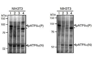 Image no. 3 for anti-Activating Transcription Factor 6 (ATF6) (N-Term) antibody (ABIN2451923)