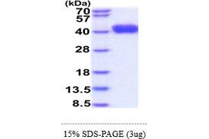 Image no. 1 for CD247 Molecule (CD247) (AA 52-164) protein (His tag) (ABIN6388182)