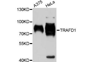 Image no. 1 for anti-TRAF-Type Zinc Finger Domain Containing 1 (TRAFD1) antibody (ABIN6567760)