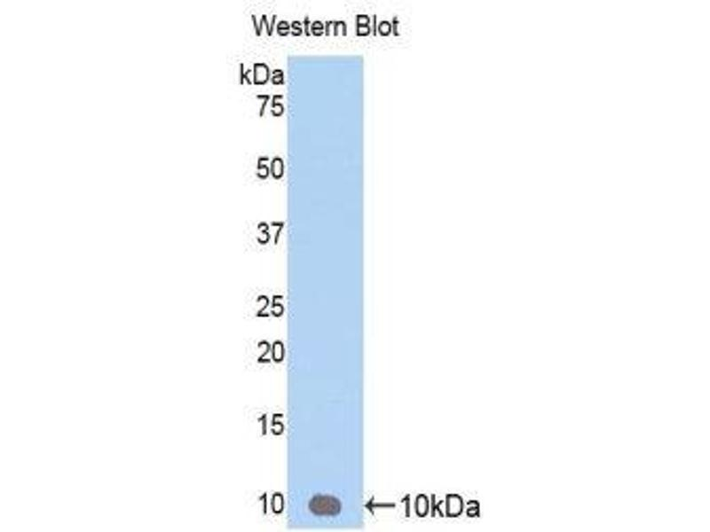Western Blotting (WB) image for anti-Chemokine (C-X-C Motif) Ligand 3 (CXCL3) (AA 35-107) antibody (ABIN1174815)