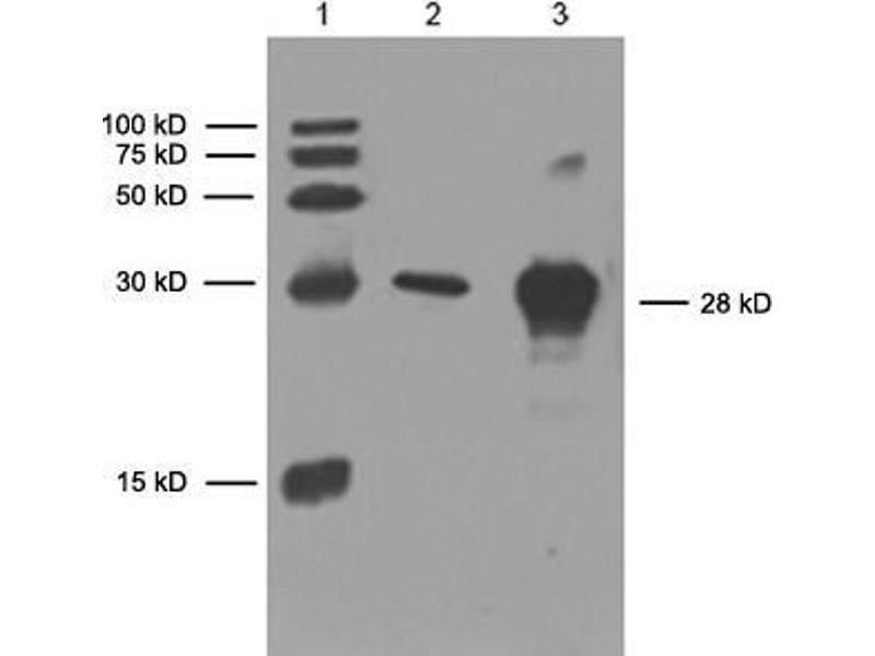 image for anti-His Tag antibody (ABIN387699)