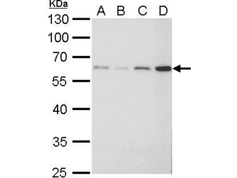 Western Blotting (WB) image for anti-Fibroblast Growth Factor Receptor-Like 1 (FGFRL1) (Center) antibody (ABIN2855700)