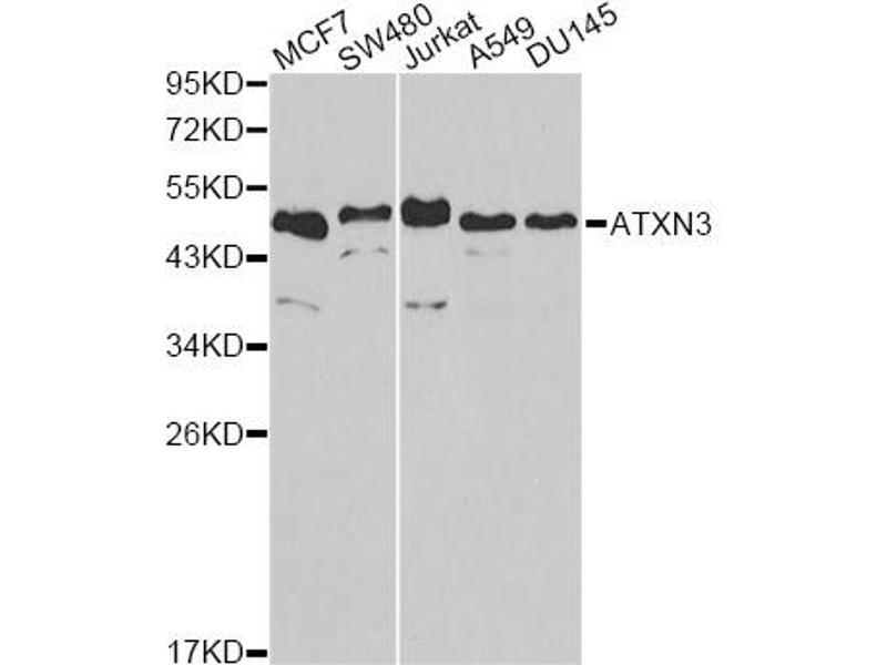 Image no. 1 for anti-Ataxin 3 (ATXN3) antibody (ABIN6567466)