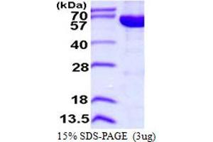 Image no. 1 for IMP (Inosine 5'-Monophosphate) Dehydrogenase 2 (IMPDH2) (AA 1-514) protein (His tag) (ABIN667973)