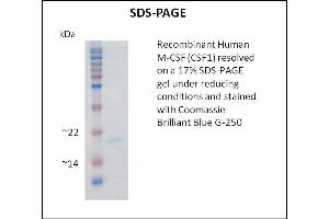 Image no. 2 for Colony Stimulating Factor 1 (Macrophage) (CSF1) (Active) protein (ABIN5509370)