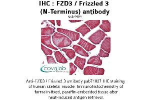 Image no. 1 for anti-Frizzled Family Receptor 3 (FZD3) (Extracellular Domain), (N-Term) antibody (ABIN1734499)